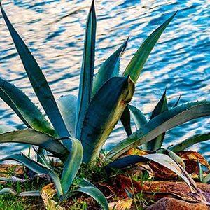 Aceite Esencial de Aloe Vera