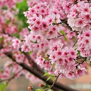 Aceite Esencial de Sakura